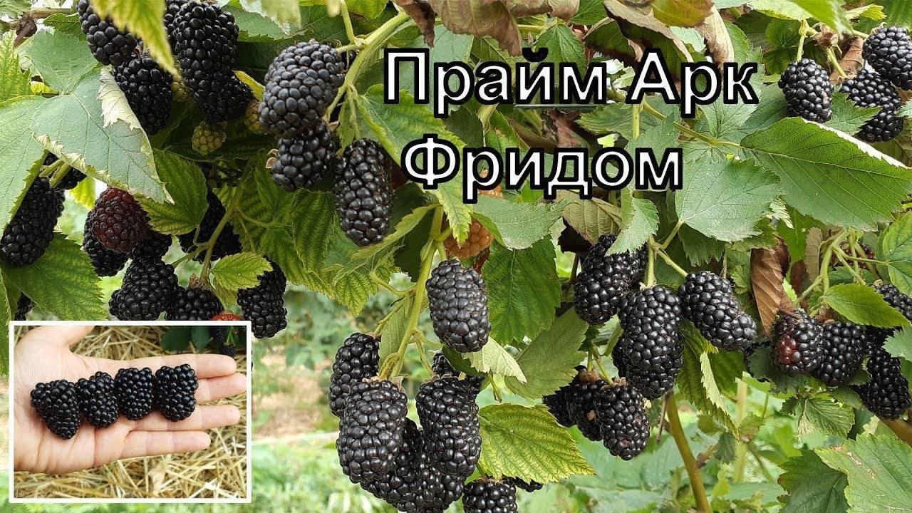 Ежевика прайм арк фридом: описание сорта и отзывы садоводов