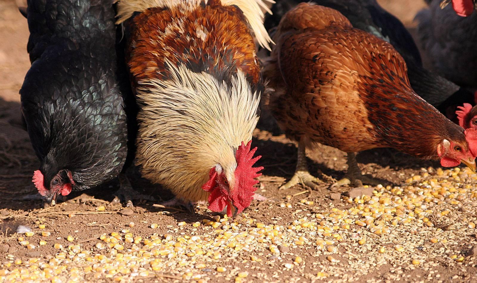 Чем кормить кур несушек в домашних условиях