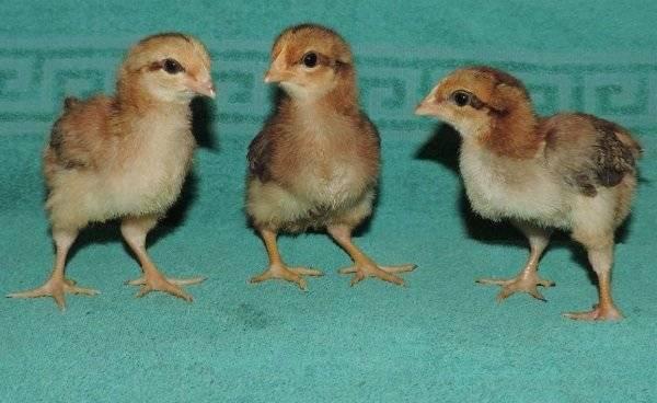 Вельзумер порода кур: описание и характеристика, содержание и уход