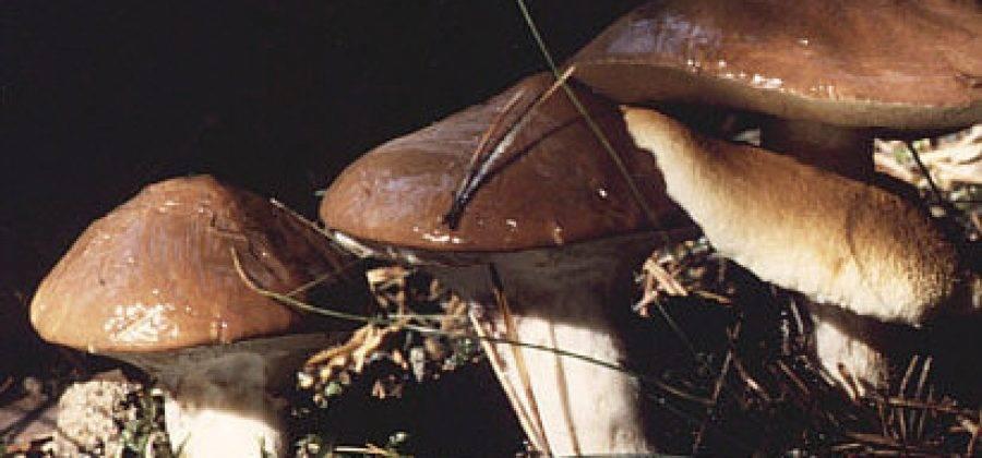 Ложный подосиновик: фото и описание гриба, как отличить от съедобного обабка