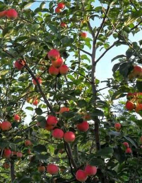 Яблоня баяна: описание, фото, отзывы