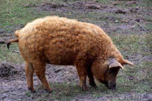 Кармалы — порода свиней, описание и характеристика породы