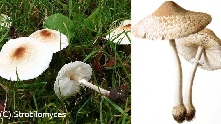 Желчный гриб - несъедобный гриб,описание отличие, свойства и отличие от белого гриба