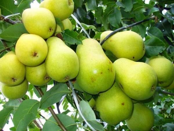 Груши для сибири: сорта с описанием, посадка, выращивание и уход с фото