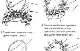 Хойя (восковой плющ): уход в домашних условиях, размножение и пересадка