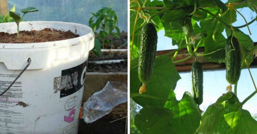 Как вырастить огурцы на подоконнике в квартире зимой: когда и как посадить рассаду, подкормка, пересадка и уход за подросшими растениями русский фермер