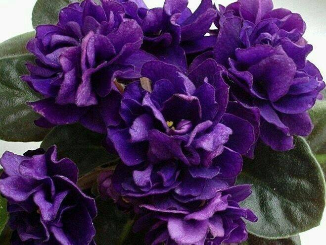 О фиалке черная жемчужина: выращивание и уход в домашних условиях