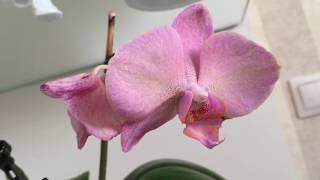 Орхидея «легато»: описание и уход - ваш сад