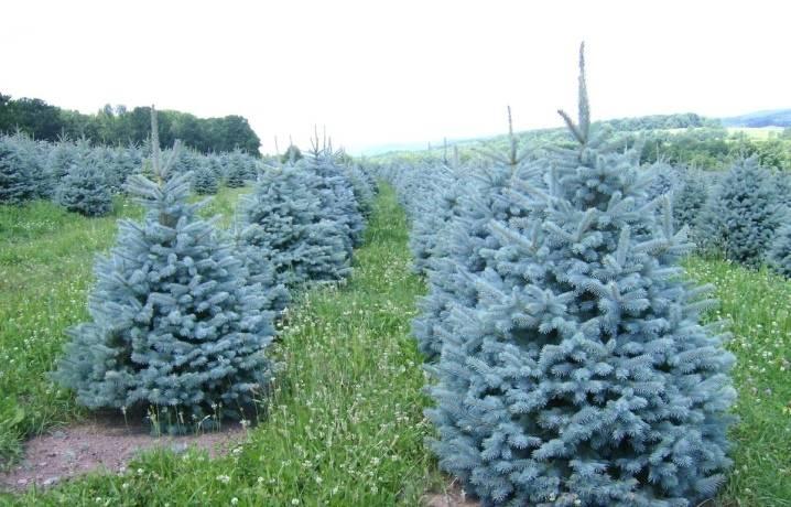 Ель блю диамонд (blue diamond) - описание сорта растения