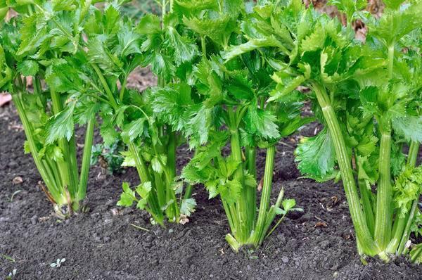Сельдерей: посадка и уход в открытом грунте, выращивание из семян