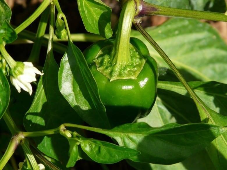 Чем подкормить перцы после высадки в грунт | вырасти сад!