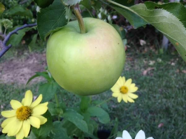 Отвечаем на вопросы. почему яблоко темнеет на срезе?