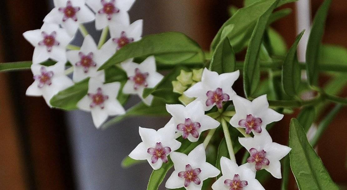 Хойя белла (33 фото): уход за хойей прекрасной в домашних условиях. описание сорта «вариегата» и других. способы размножения комнатного цветка