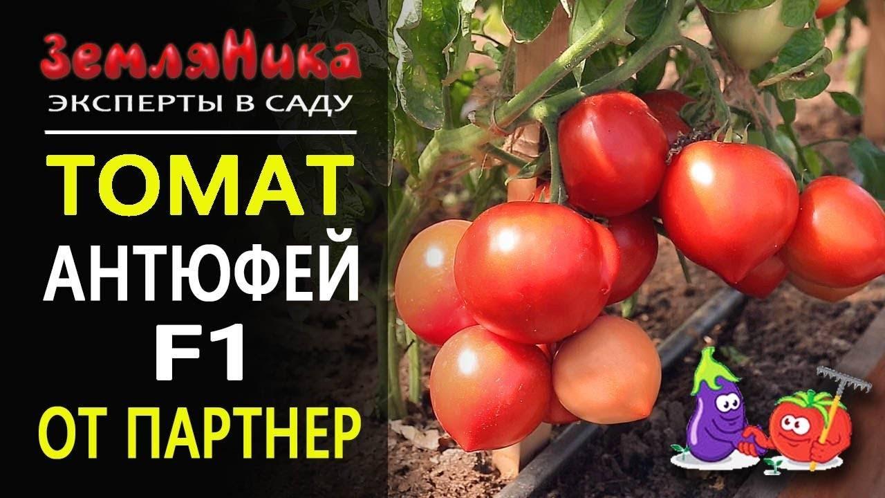 Томат баланс f1: фото куста и отзывы об урожайности помидоров, описание и характеристика сорта