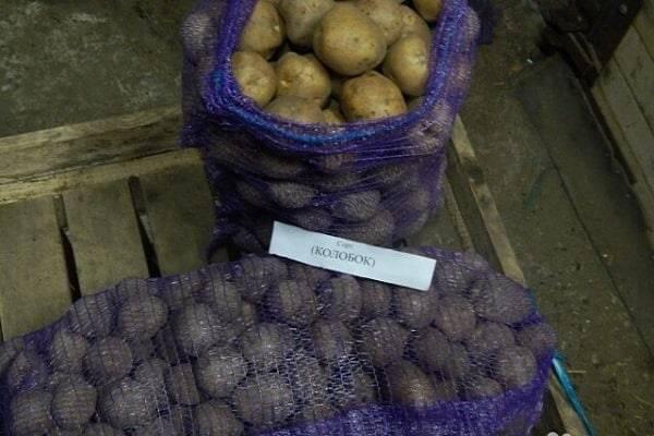 Характеристика картофеля колобок
