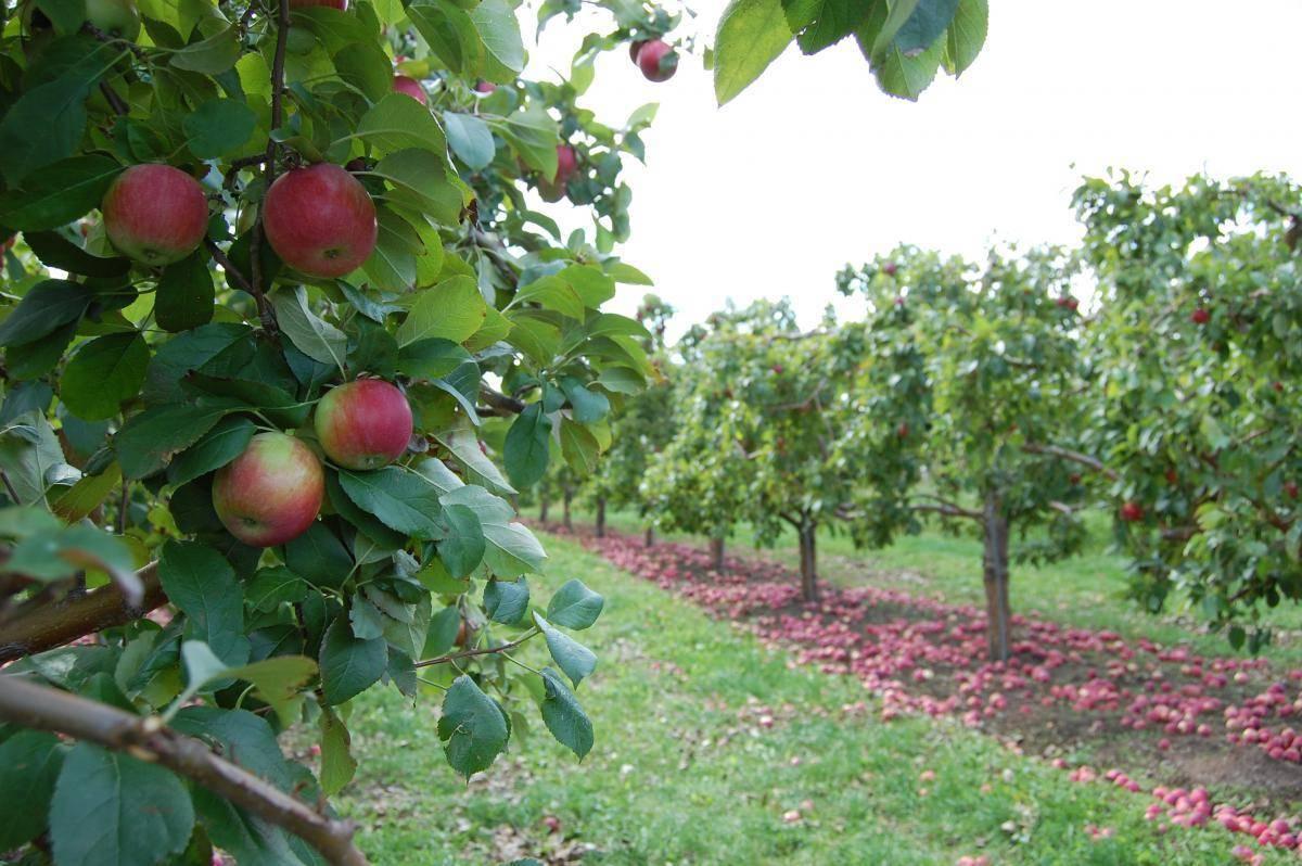 Карликовая яблоня для сибири и урала сорта чудное, как ее посадить | садоводство и огородничество