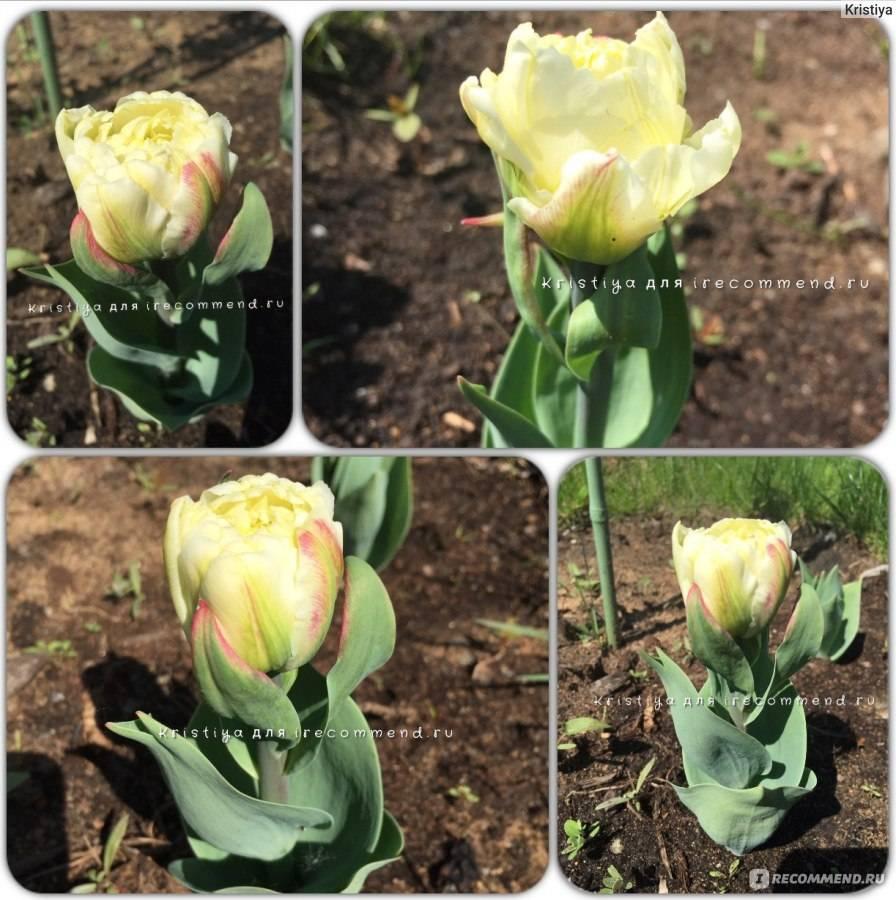 Тюльпаны сорт пломбир