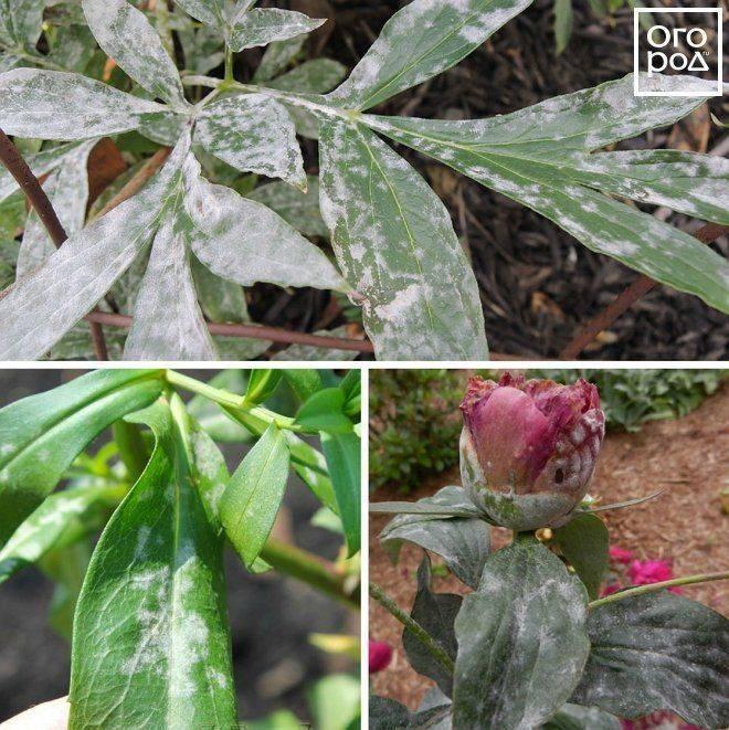 Болезни и вредители пионов — советы садоводам