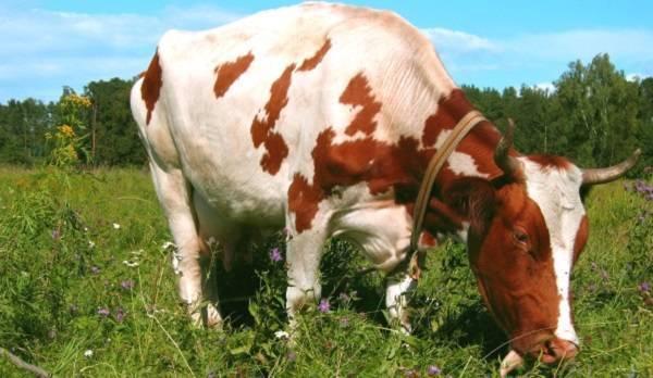 Стельность коровы: как определить, сколько дней длится беременность и сколько может перехаживать
