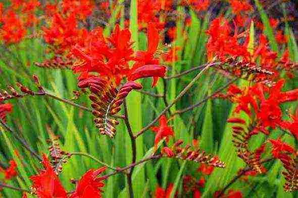 Крокосмия (монтбреция): посадка и уход в открытом грунте, виды и сорта с фото