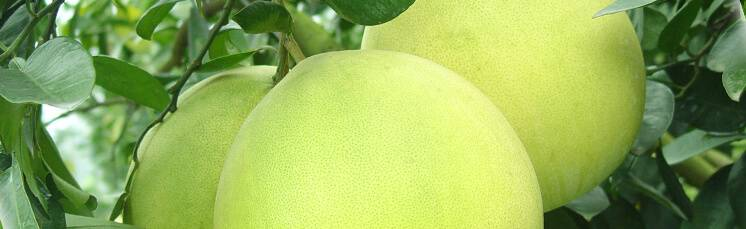 Помело для похудения - польза и вред, калорийность фрукта