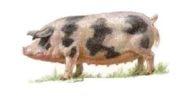 Сальные породы свиней• характеристики, фото и описание