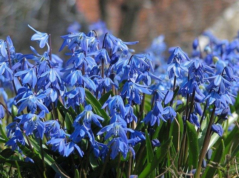 Цветок сцилла (пролеска) сибирская, двулистная, колокольчатая: фото и описание, посадка и уход