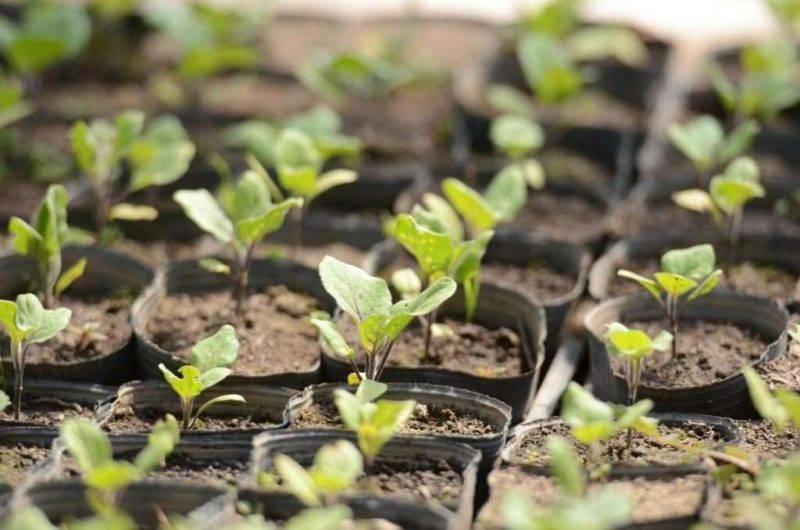Сажаем баклажаны рассадой: благоприятные дни по луне на 2021 год