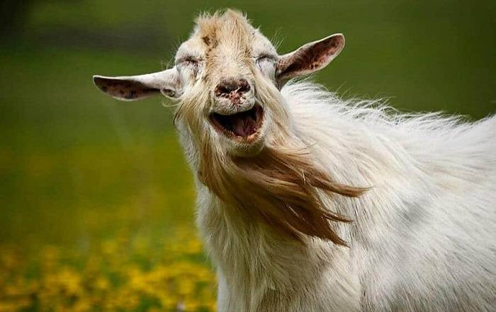 Клички для козленка: каким именем можно назвать козу? список лучших кличек для козленка-мальчика