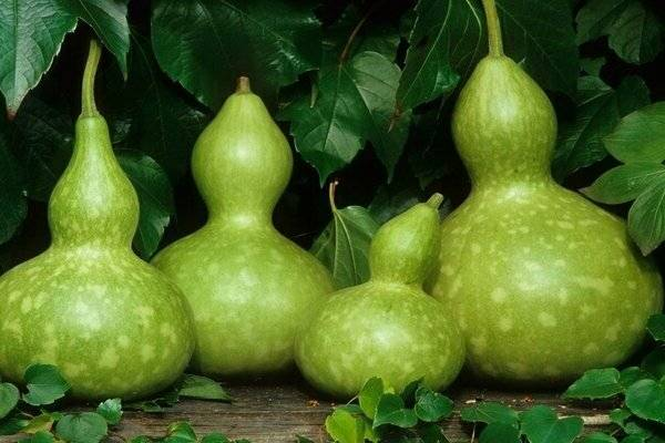 Особенности выращивания вкусного декоративного овоща лагенарии