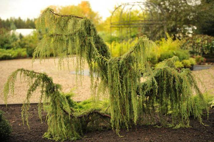 Можжевельник обыкновенный хорстманн (horstmann): описание, посадка и уход, отзывы - растения и огород