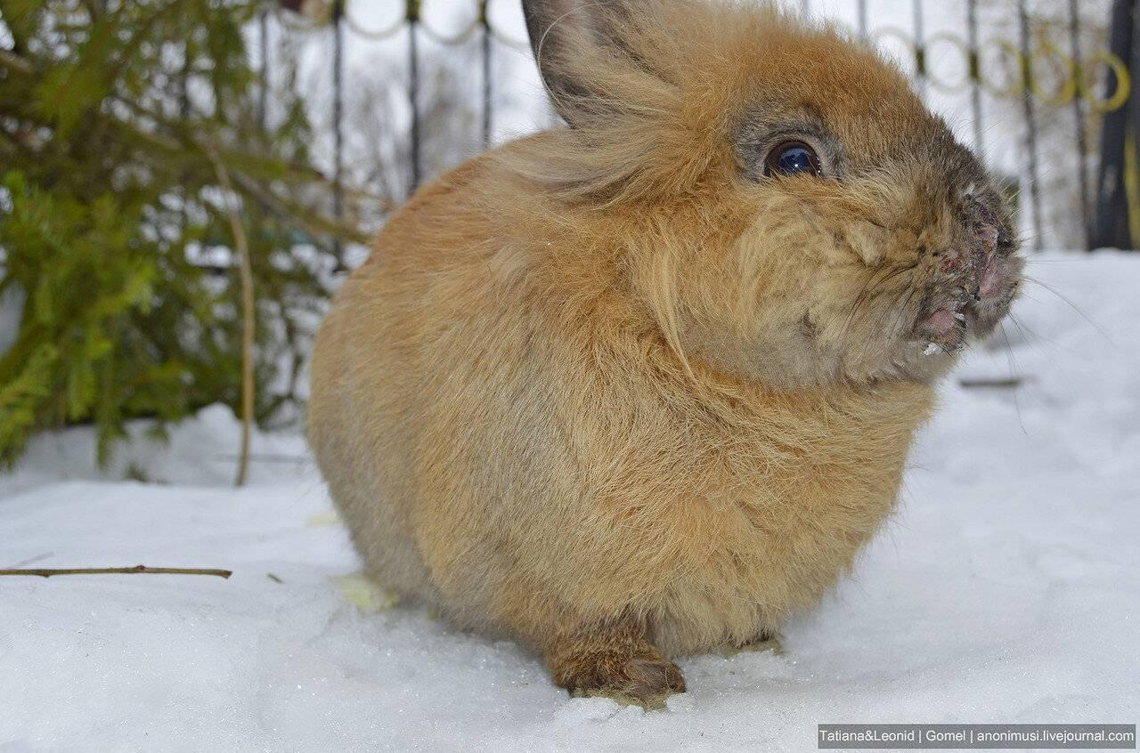 Инфекционный стоматит или просто мокрец у кроликов