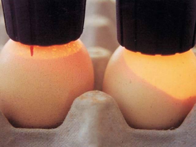 Овоскопирование утиных яиц