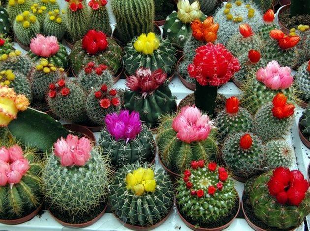 Как ухаживать за кактусом в домашних условиях: советы для начинающих цветоводов