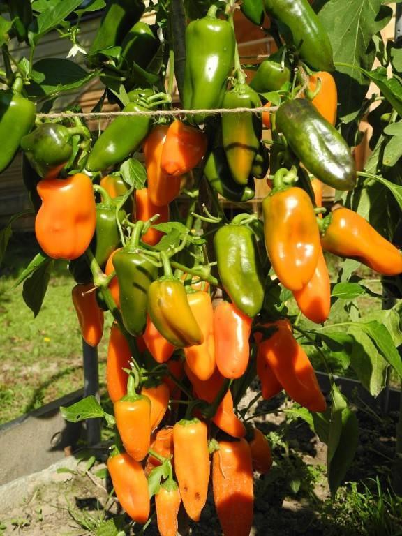 Десертные перцы: группа практикум садовода и огородника