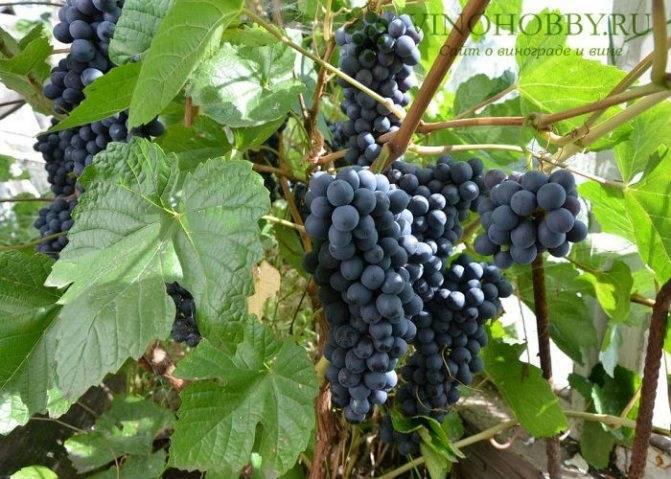 Виноград в подмосковье: выращивание, посадка и уход
