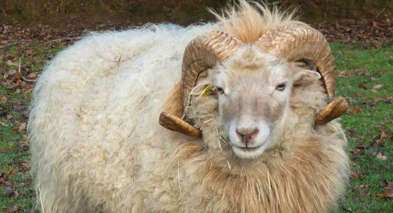 Кормление и содержание цигайской породы овец, преимущества и недостатки вида. 2021