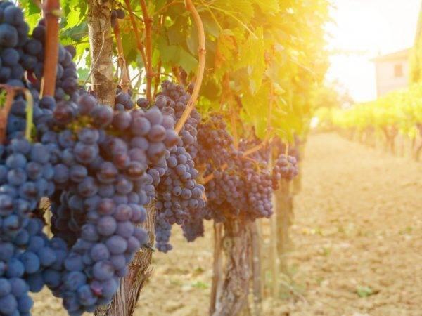Виноград декабрьский описание сорта фото отзывы видео