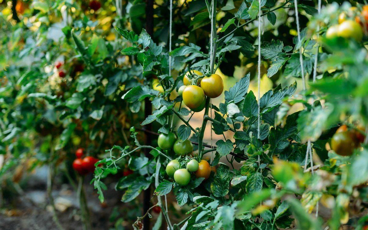 Как правильно пасынковать томаты в теплице и открытом грунте, видео