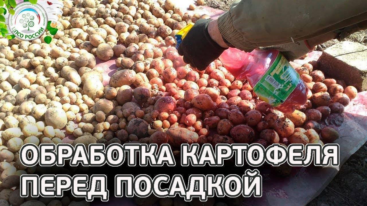 Чем обработать картофель от колорадского жука, когда и как проводить работы