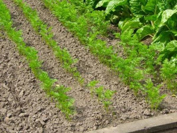 Чем лучше подкормить свеклу в открытом грунте: какие удобрения вносить