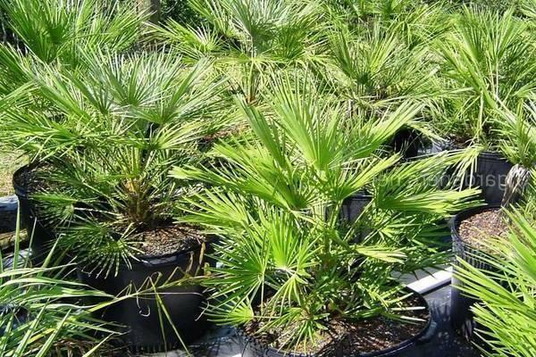 Уход за пальмой вашингтония в домашних условиях