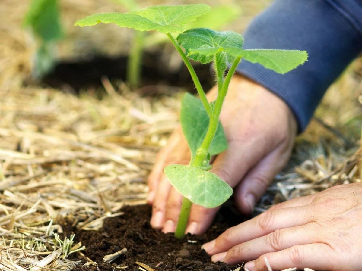 Тыква посадка рассады | вырасти сад!
