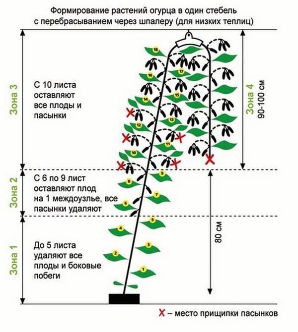 Формирование огурцов в теплице в один стебель: пошаговая инструкция с фото и видео