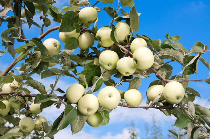 Некоторые осенние сорта яблони