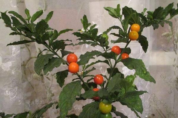 Паслен - фото комнатного растения, уход в домашних условиях, выращивание, размножение