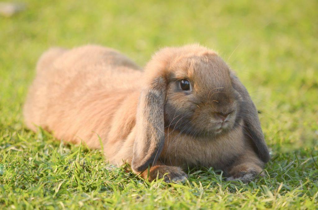 Сколько живут декоративные кролики? средняя продолжительность жизни в домашних условиях. до скольких лет живут стоячеухие кролики?