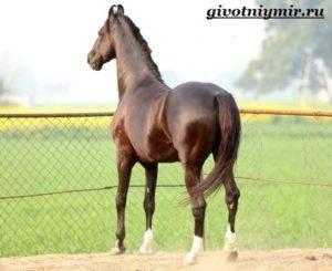Особенности марварской породы лошадей
