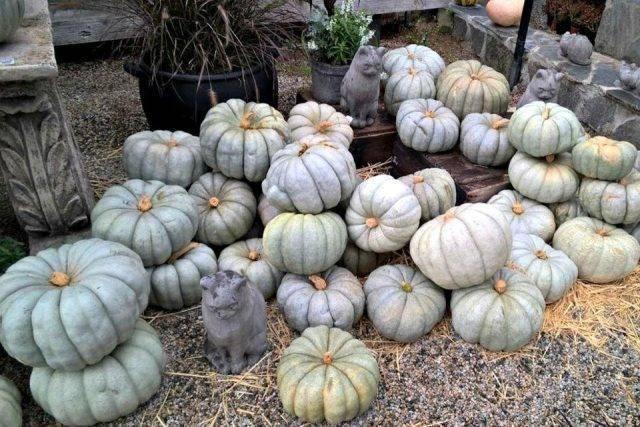 Тыква волжская серая: описание, правила выращивания, фото, видео