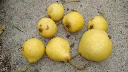 Груши бере боск: описание сорта и всех характеристик, фото плодов selo.guru — интернет портал о сельском хозяйстве